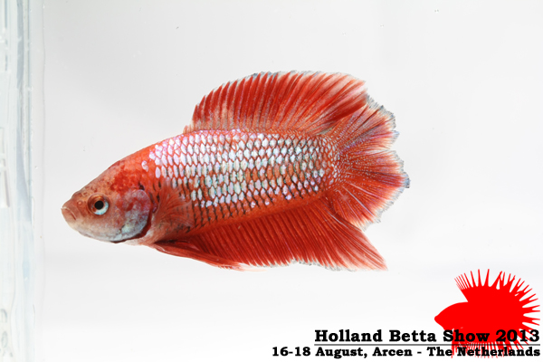 Bettas4all presents the Holland Betta Show 16-18 August 2013 HBS2013-M4Allcolors-2