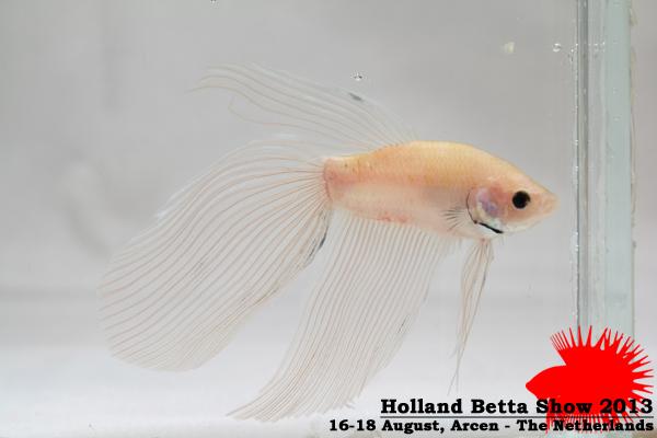 Bettas4all presents the Holland Betta Show 16-18 August 2013 HBS2013-M6Allcolors-1