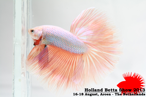 Bettas4all presents the Holland Betta Show 16-18 August 2013 HBS2013-M7AOC-1