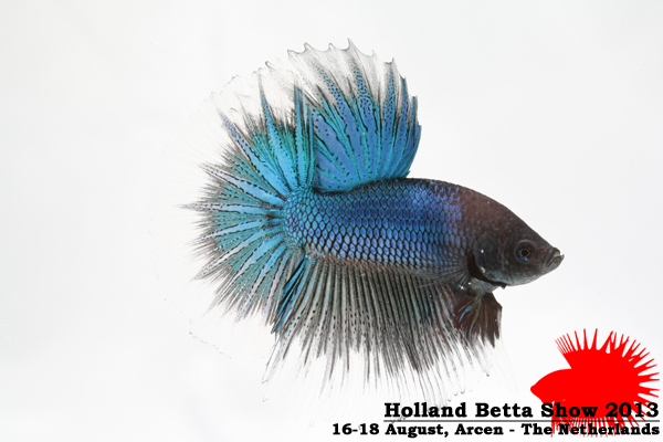 Bettas4all presents the Holland Betta Show 16-18 August 2013 HBS2013-M7Banded-2