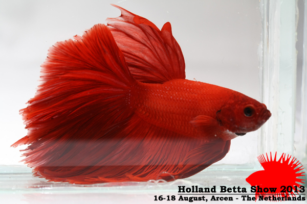 Bettas4all presents the Holland Betta Show 16-18 August 2013 HBS2013-M7Unicolor-1