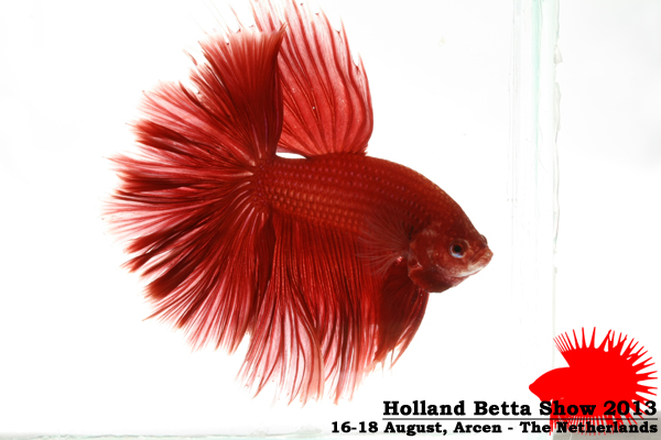 Bettas4all presents the Holland Betta Show 16-18 August 2013 HBS2013-M7Unicolor-2