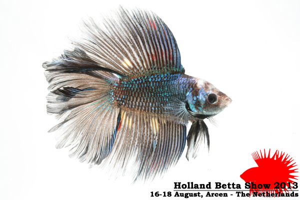 Bettas4all presents the Holland Betta Show 16-18 August 2013 HBS2013-M8Allcolors-1