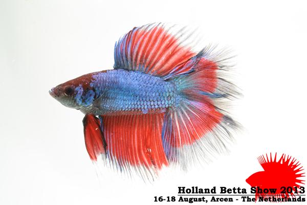 Bettas4all presents the Holland Betta Show 16-18 August 2013 HBS2013-M8Allcolors-2