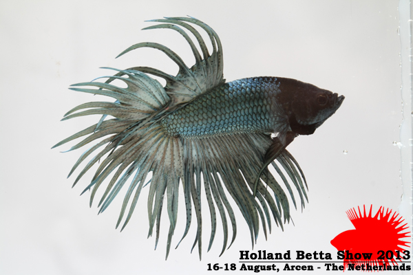 Bettas4all presents the Holland Betta Show 16-18 August 2013 HBS2013-M9Allcolors-1