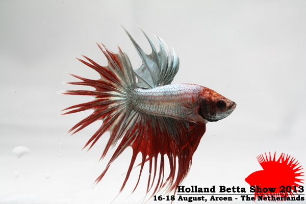 Bettas4all presents the Holland Betta Show 16-18 August 2013 HBS2013-M9Allcolors-2