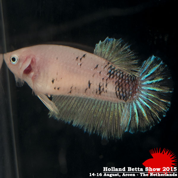 Bettas4all presents the Holland Betta Show 14-16 August 2015 HBS2015-F7Marble-3