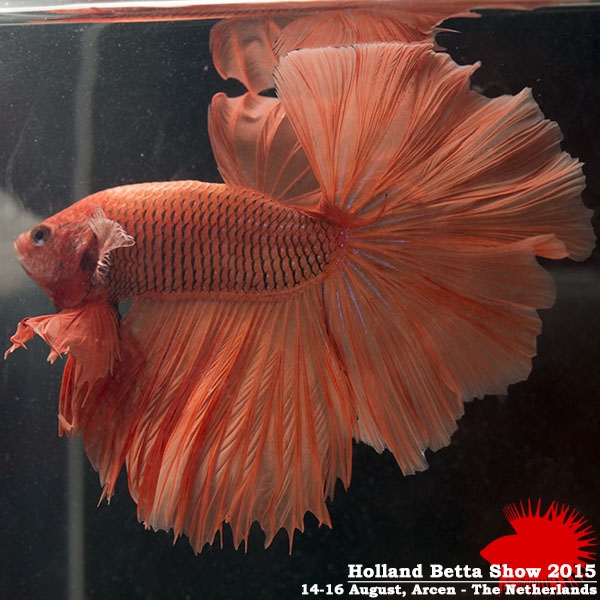 Bettas4all presents the Holland Betta Show 14-16 August 2015 HBS2015-M7Unicolor-3