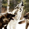WILD WIDE җ  RPG Wolves_010