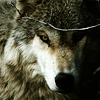 WILD WIDE җ  RPG Wolves_014