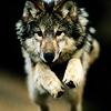 Numéro 15 - Juillet 2016 Wolves_058