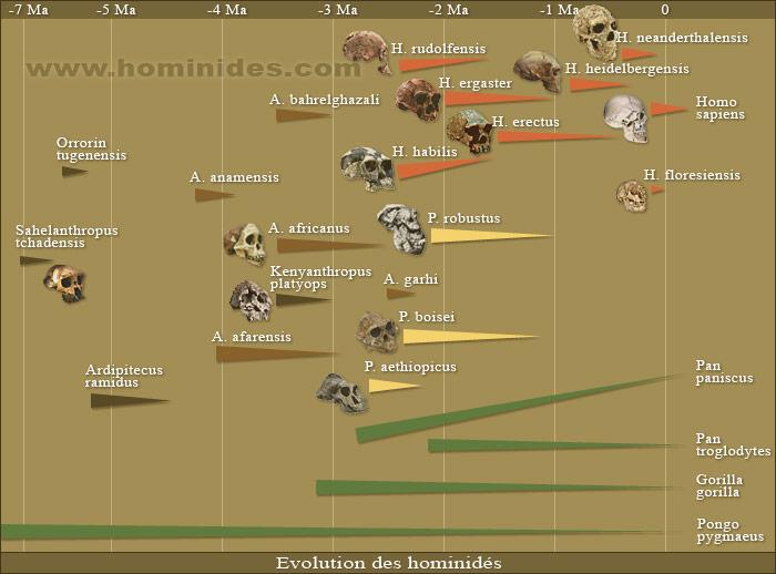 ADN du crane découvert au pérou ? - Page 2 Evolution-des-hominides