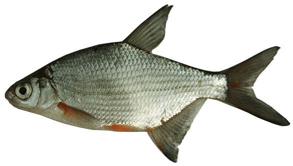 Bela riba na musicu... Karikakeszeg