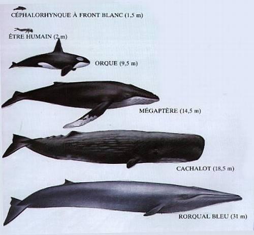 Le sommeil de la baleine Mad_baleine_comparatif_g