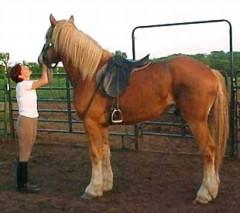 Horse or Car? Denise-bell-evans-grayhavens-spike-belgian-draft