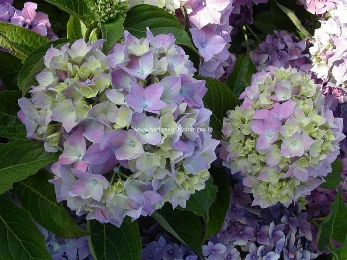 Pourquoi les hortensias changent-ils de couleur? Hortensia-lausanne