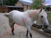 GRISOU - ONC poney né en 1994 - adopté en août 2010 - décédé pendant l'été 2017 Mini_293852GRISOU3