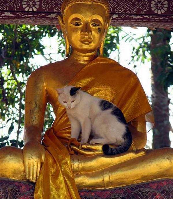 Les chats aussi aiment méditer et savent où aller Chat-boudha2