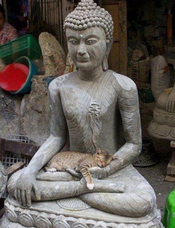 Les chats aussi aiment méditer et savent où aller Chat-boudha6