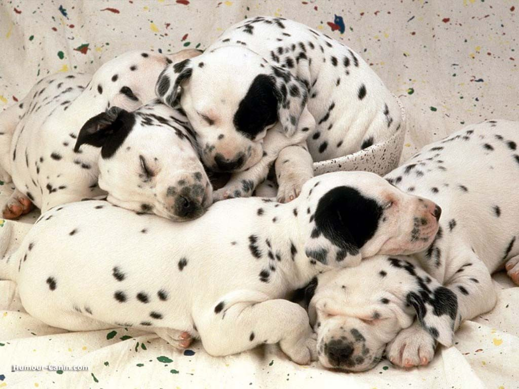 Avatars Disney - Page 2 Real_1889_dalmatiens_chiots_dormant