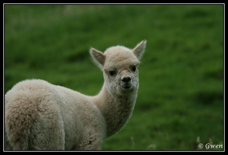 jeune Alpaga light fawn à vendre Alpaga-guizmo14G
