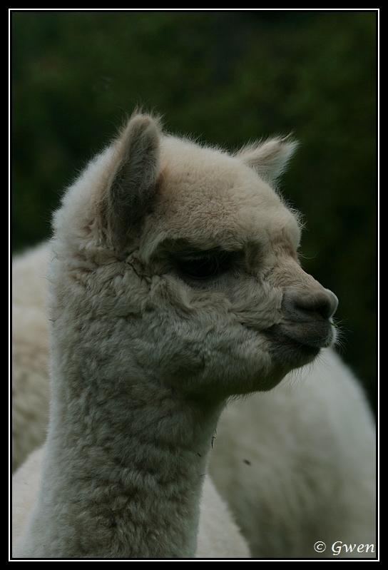 jeune Alpaga light fawn à vendre Alpaga-guizmo15G