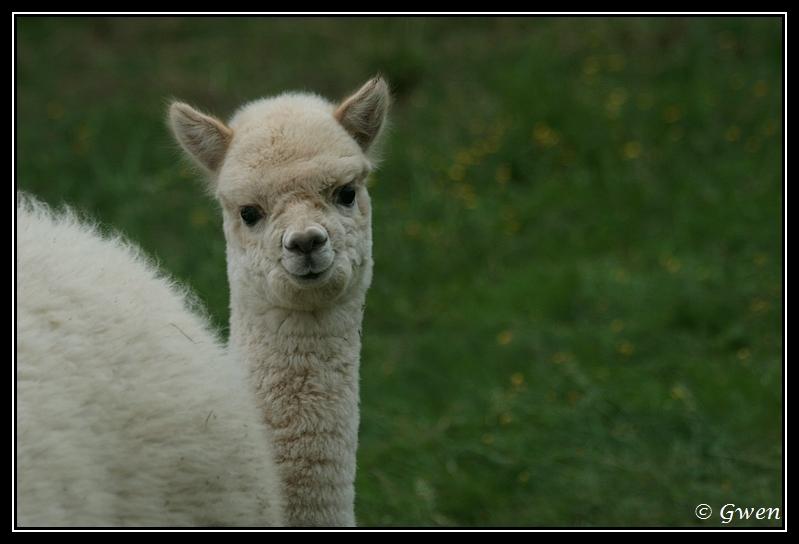 jeune Alpaga light fawn à vendre Alpaga-guizmo23G