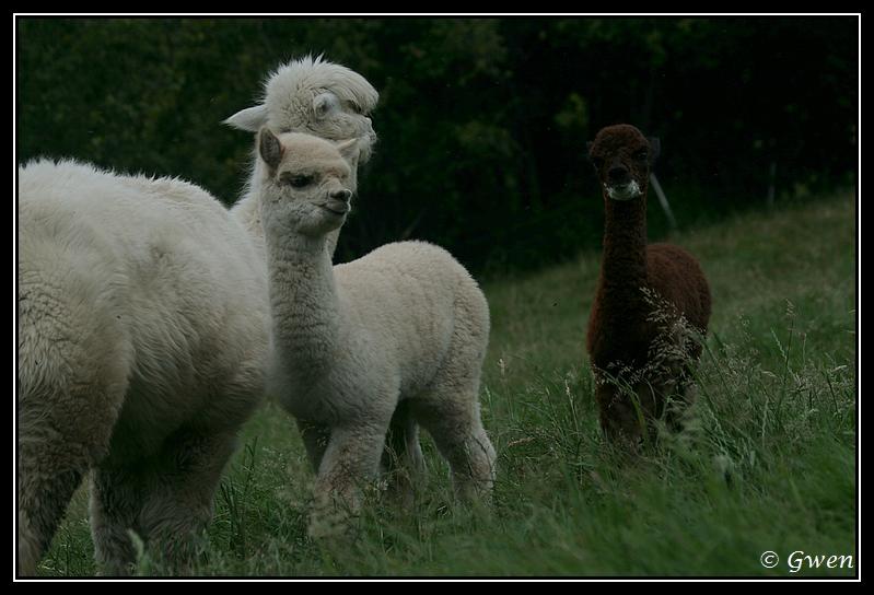 jeune Alpaga light fawn à vendre Alpaga-guizmo24G