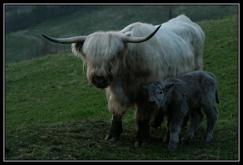 Highland 2012 sur la ferme du Hunt-Cam Highland-harn5G