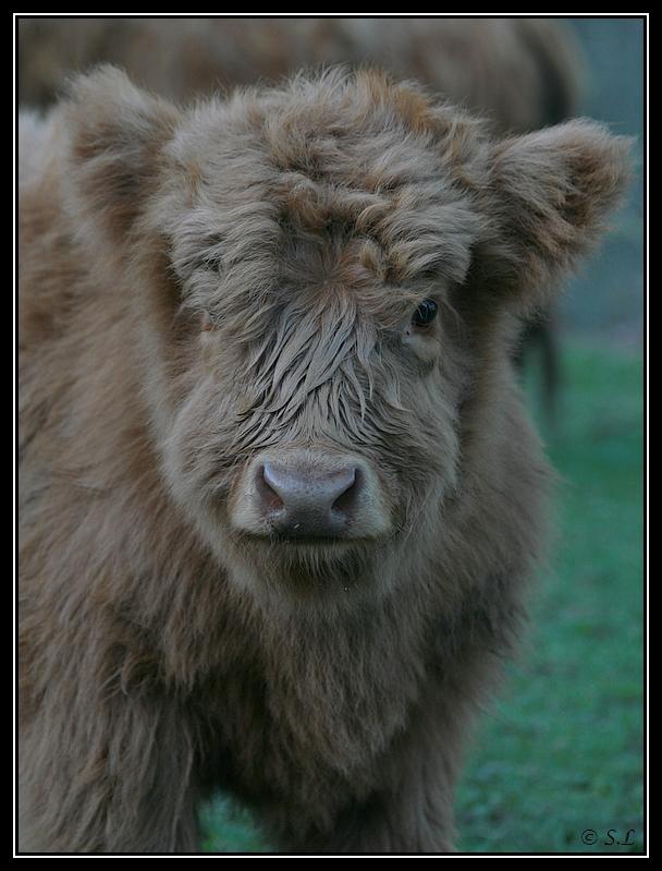 Highland 2012 sur la ferme du Hunt-Cam Highland-harriet11G
