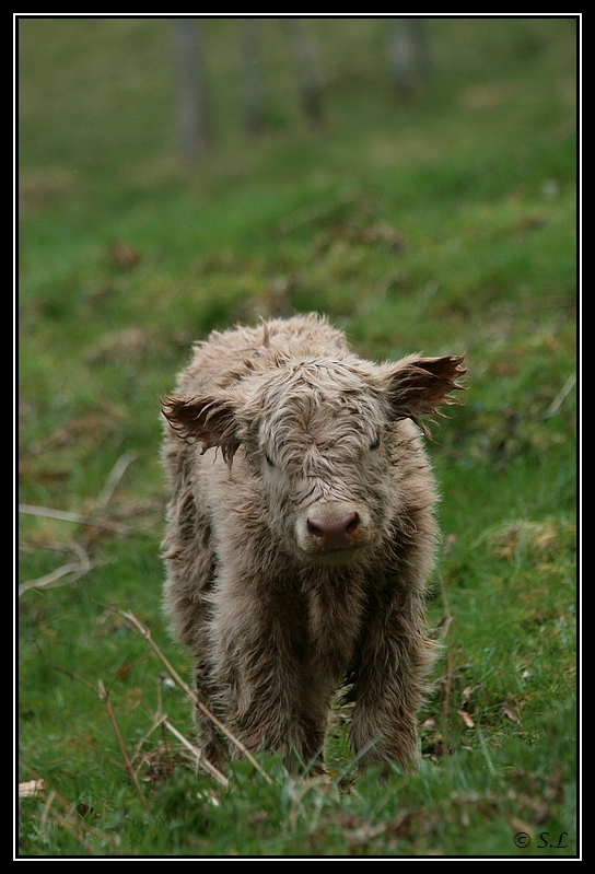 Highland 2012 sur la ferme du Hunt-Cam Highland-heather1G