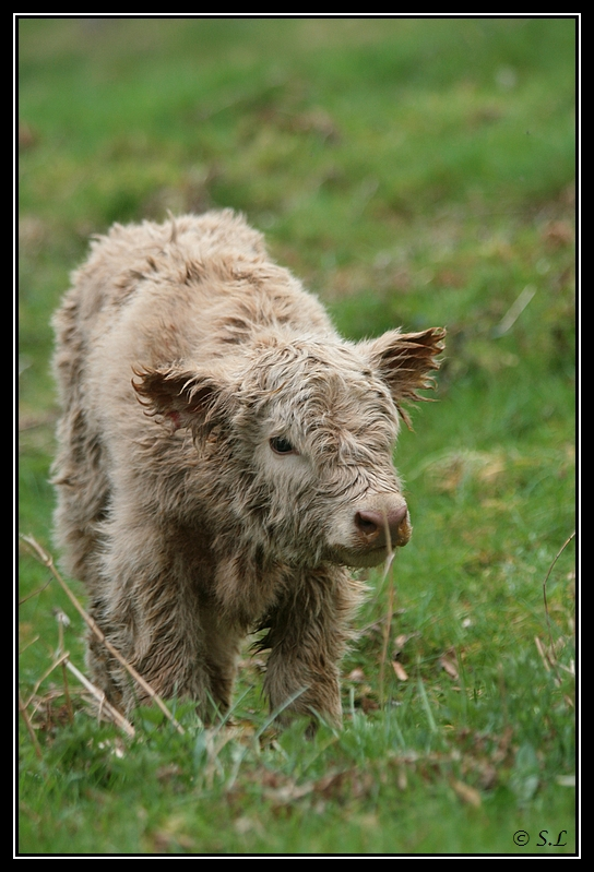 Highland 2012 sur la ferme du Hunt-Cam Highland-heather2G