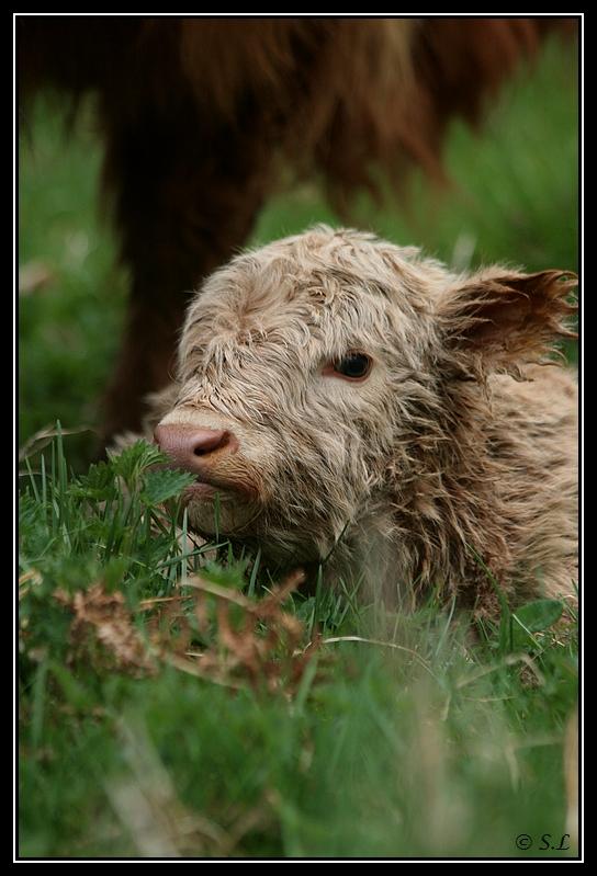 Highland 2012 sur la ferme du Hunt-Cam Highland-heather4G