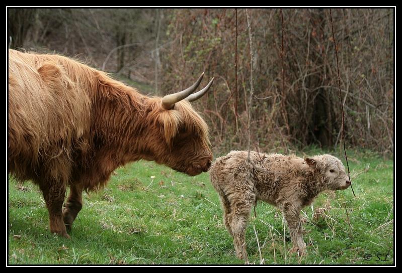 Highland 2012 sur la ferme du Hunt-Cam Highland-heather5G