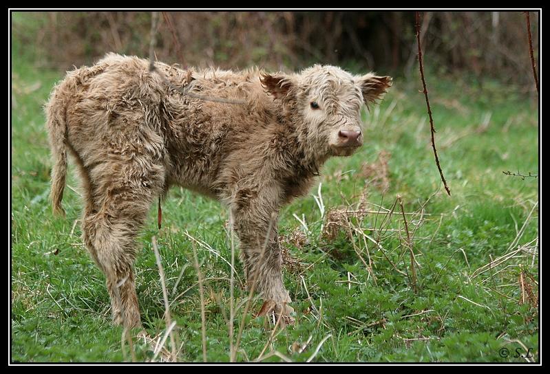 Highland 2012 sur la ferme du Hunt-Cam Highland-heather6G