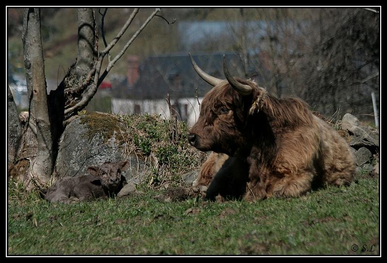 Highland 2012 sur la ferme du Hunt-Cam Highland-helora7G