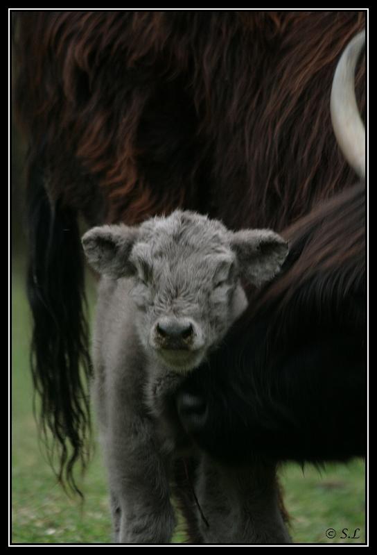 Highland 2012 sur la ferme du Hunt-Cam Highland-hoppy4G