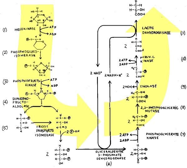 Glycolysis  Imp-090b