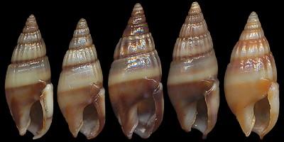 Nassariidae_a_identifier_Nassarius_Aciculina_vittatus_(Adams_1853) Nassarius_vittatus1