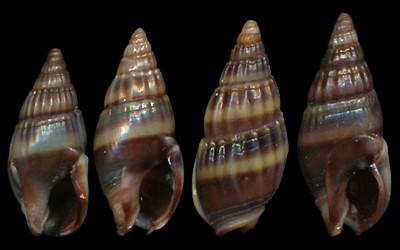 Nassariidae_a_identifier_Nassarius_Aciculina_vittatus_(Adams_1853) Nassarius_vittatus2