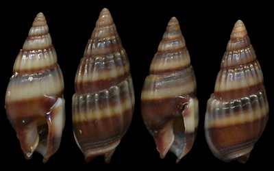 Nassariidae_a_identifier_Nassarius_Aciculina_vittatus_(Adams_1853) Nassarius_vittatus3