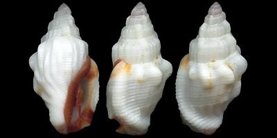 Canarium scalariforme - (Duclos, 1833) Canarium_haemastoma1