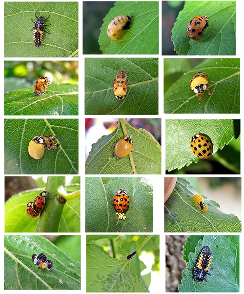 EWWWWW.........bugs and stuff...good or not so good? Ladybug-Larvae-to-Adult