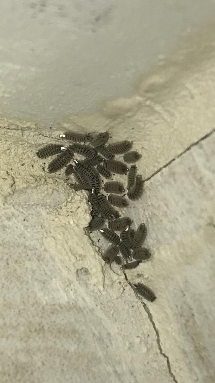 [Diplopoda Polyxenida] Quel est cet insecte qui envahi ma maison 1517155096923698699