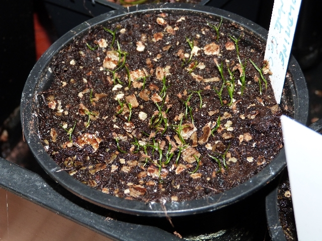 semis sarracenia et darlingtonia - Page 4 15217248061025310692