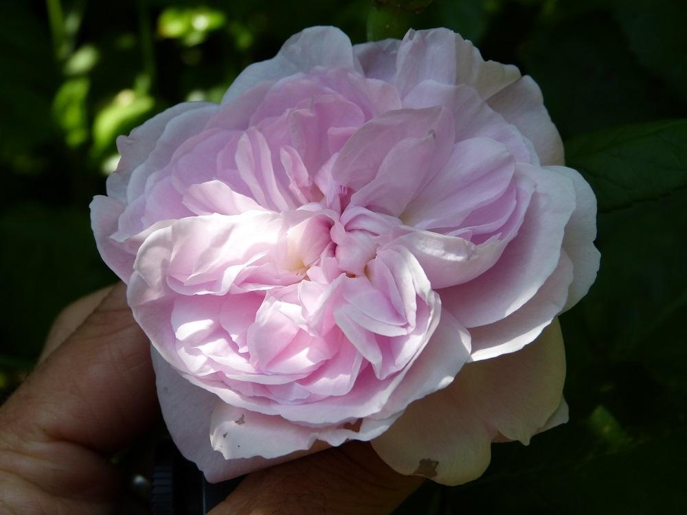 Centfeuilles, les reines du parfum. Fantin Latour - Page 3 15265641401489700051