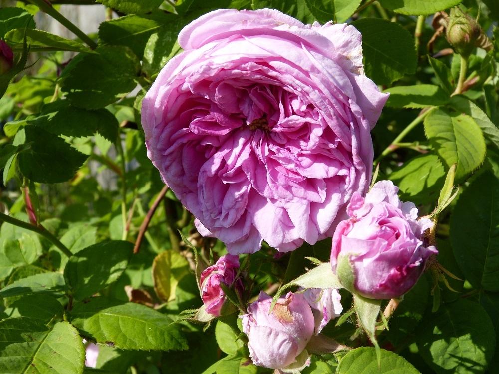 Rose des peintres - Rosa x centifolia major (Origine inconnue - 1587) - Page 4 1527190293719764230