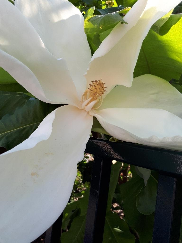 Magnolia macrophylla - magnolia à grandes feuilles  15274461081207954618