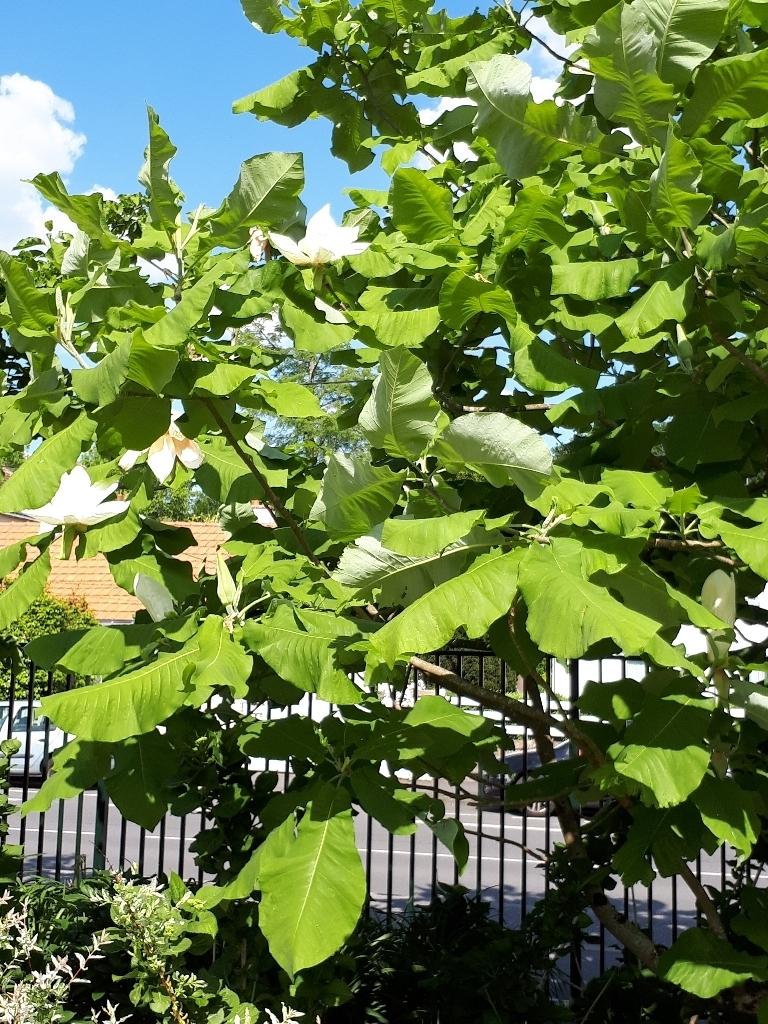 Magnolia macrophylla - magnolia à grandes feuilles  1527446240172567566