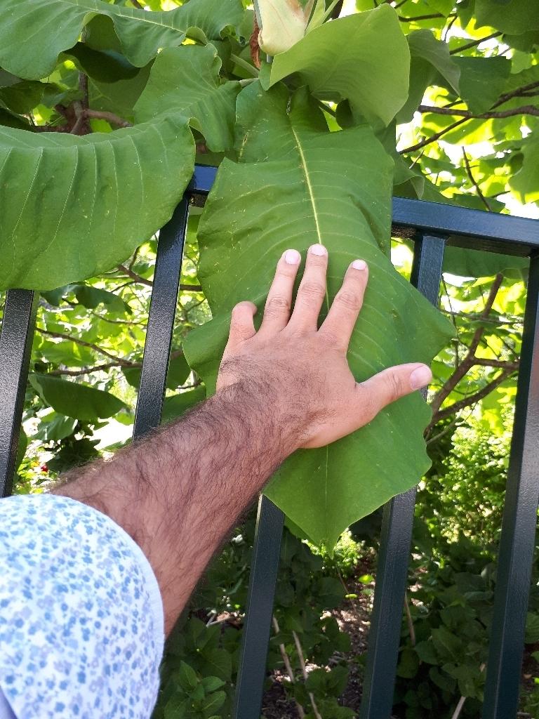 Magnolia macrophylla - magnolia à grandes feuilles  15274463021764826289